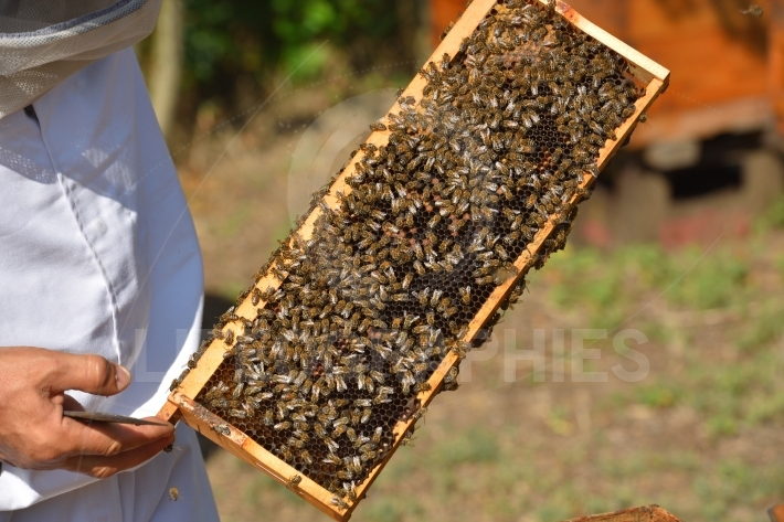 Group of working bees on frame