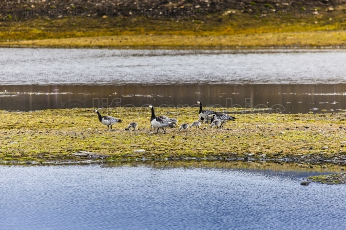 Group off barnacle goose