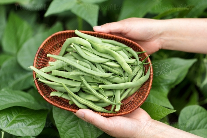 Hands holding basket of freshly harvested green beans