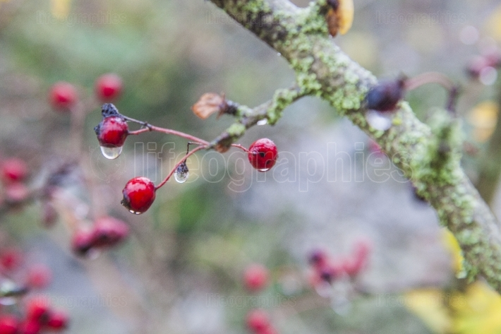 Hawthorn with hanging dew drops in the dense fog