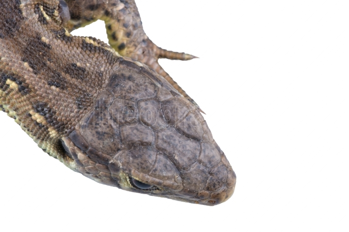 Head of lizard Lacerta agilis on a white background