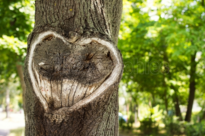 Heart in the bark of a tree.tree with heart shape. heart wooden
