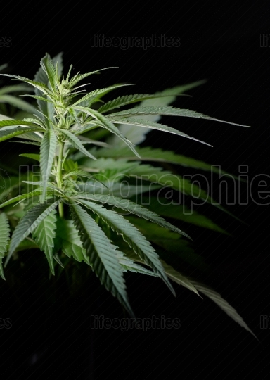 Hemp plant isolated