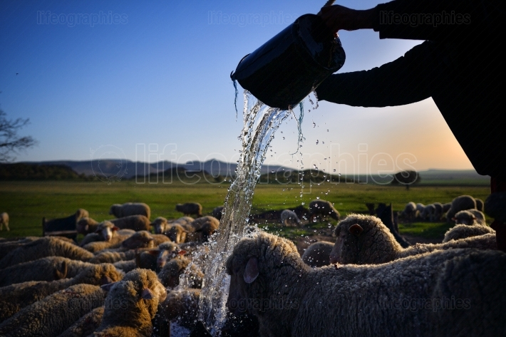 Herd of sheep in watering place at sunset
