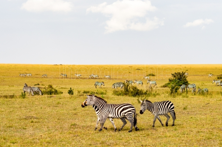 Herd of zebras grazing in the savannah of Maasai Mara Park in Ke