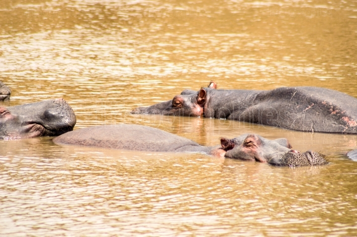 Herds of hippopotamuses in the Mara River of Masai Mara Park in