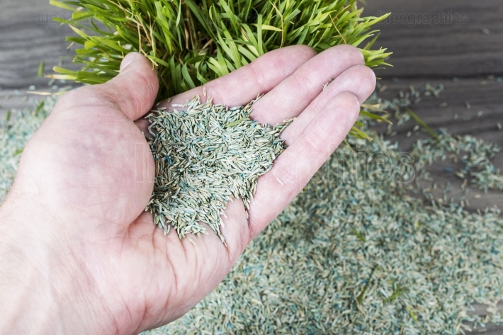 Holding New Grass Seed in Palm