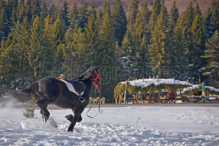 Horse galloping on snow