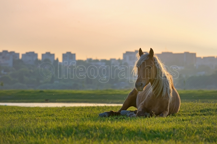 Horse sitting down