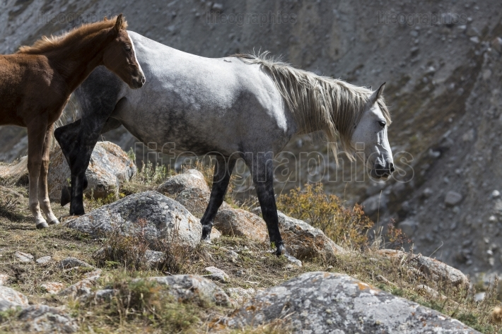 Horses in kyrgyzstan mountain landscape at landscape of ala-arch