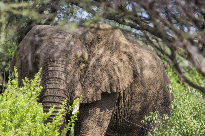 Huge African elephant bull in the Tarangire National Park, Tanza