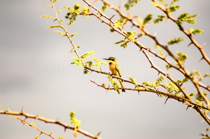 Hummingbird sitting on a black acacia branch in the savannah of