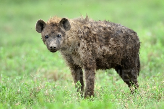 Hyena in safari with green background