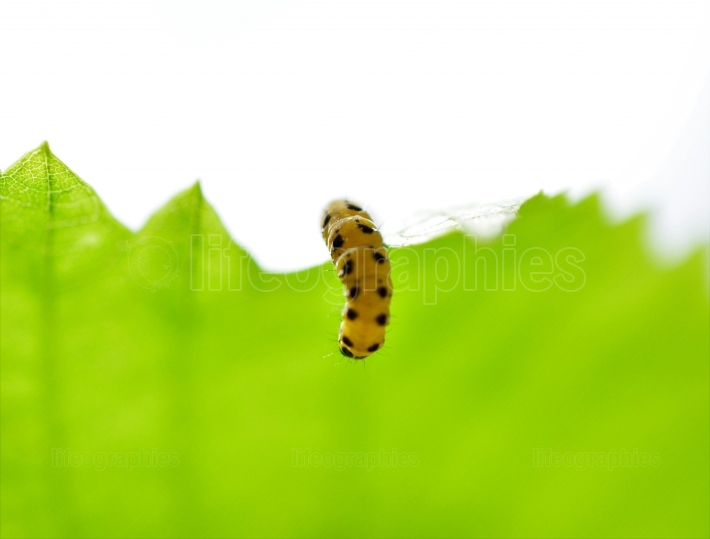 Image of a yellow black caterpillar on a green leaf