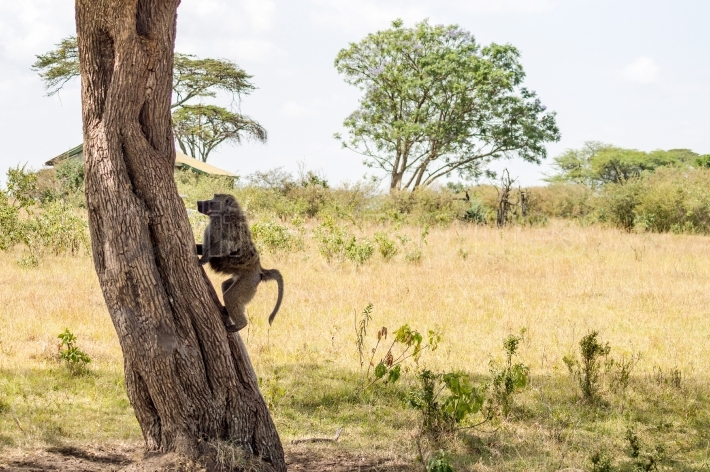 Isolated baboon sitting on a stone in the savannah of Masai Mara
