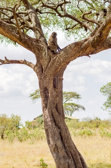 Isolated baboon sitting on a tree in the savannah of Masai Mara