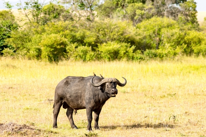 Isolated Buffalo grazing in the savannah of Maasai Mara Park in