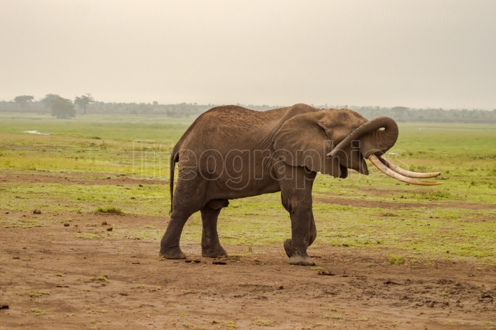 Isolated Elephant hiding her eyes with her trunk in the savannah