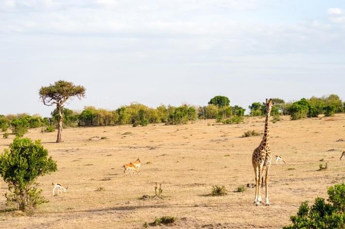 Isolated giraffe in the savannah of Masai Mara Park in North Wes