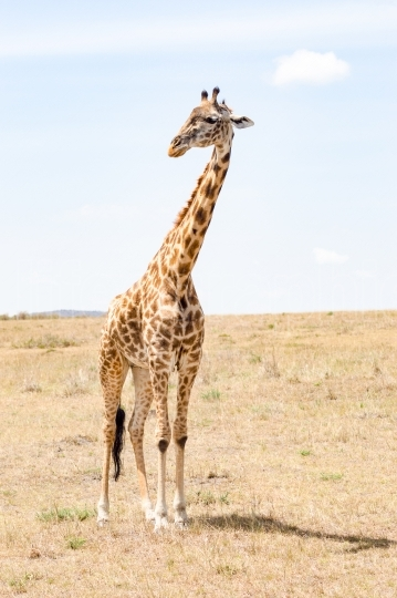 Isolated giraffe near acacia in the park of  mara Kenya