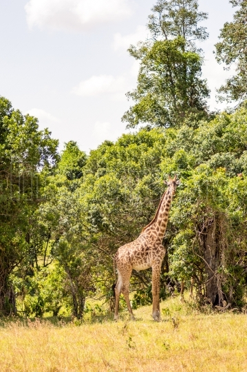 Isolated giraffe near acacia in the park of masai mara Kenya