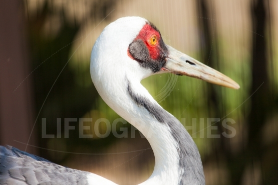 Isolated photo of a sandhill crane