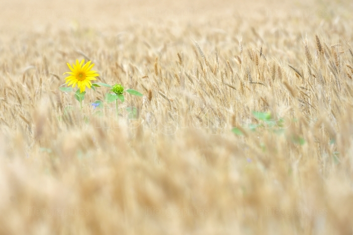 Isolated Sunflower in wheat field