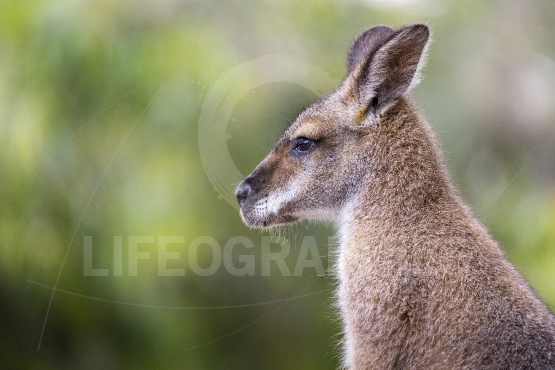 Kangaroo of Australia  Close up of head and face