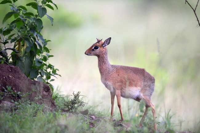 Kirk Dik dik (Madoqua kirkii) the smallest antelope in the world