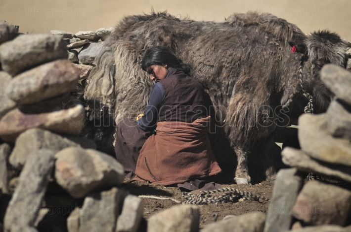 Ladakhi woman working at milking yak