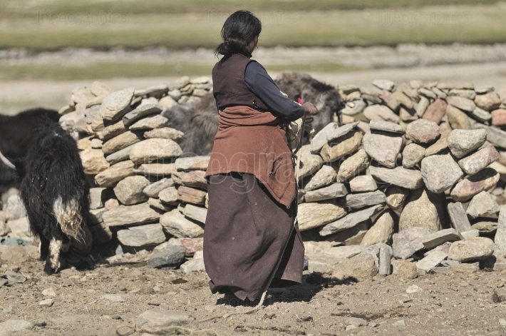 Ladakhi woman working at the nomad farm