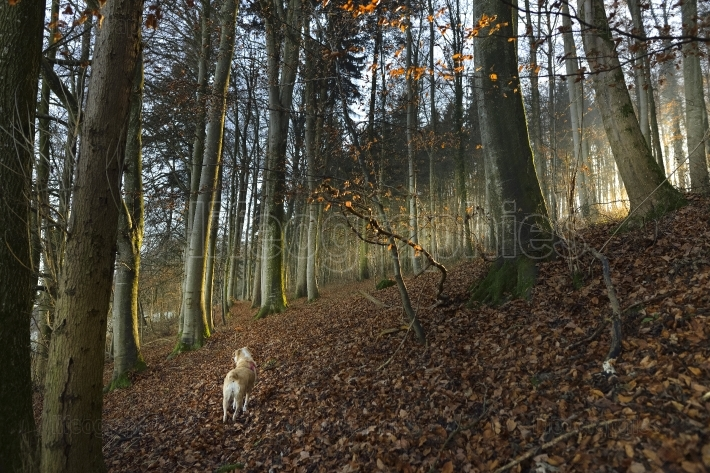 Lady dog in a forest through a froggy autum morning ligh