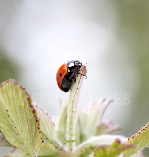 Ladybird on spring leaves