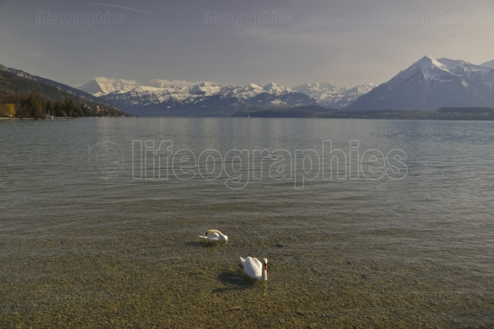 Lake Thun and swans