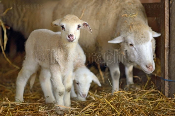 Lambs in a stable