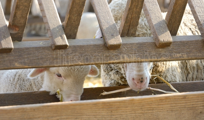 Lambs on the farm in spring time