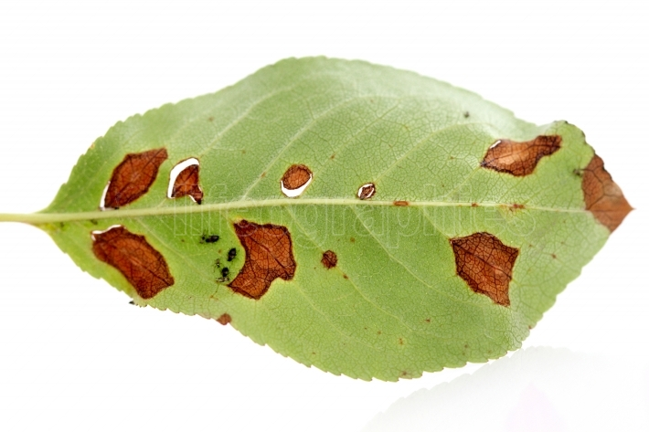 Leaf , infected and damaged by pests