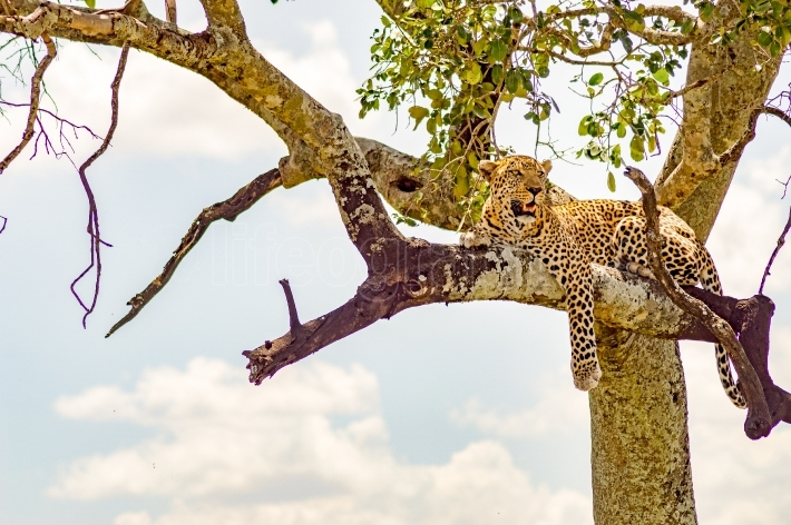 Leopard lying on a branch with in Maasai Mara Park in Kenya