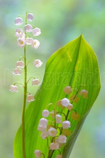 Lilies of the valley flowers isolated