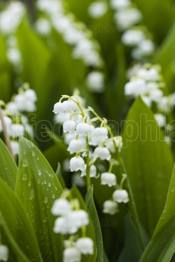 Lily of the valley flowers with water drops on green background.