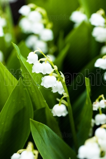 Lily of the valley flowers with water drops on green background. Convallaria majalis