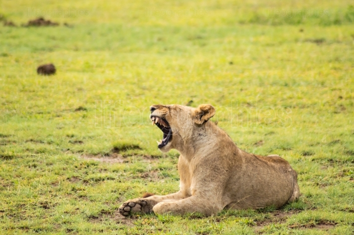 Lion lying in the grass gaggling mouth wide open in the savannah