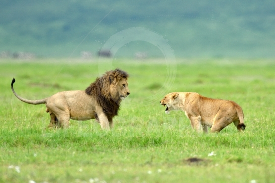Lion (panthera leo) and lioness fighting as part of mating ritua