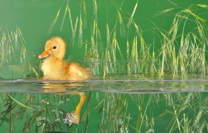 Little duck floating in water