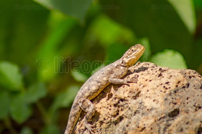 Lizard called agame settlers in the savannah of Amboseli Park in