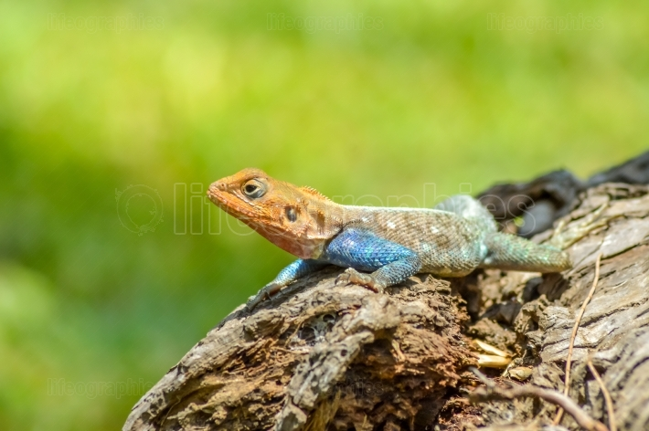 Lizard of all colors on a trunk in a garden