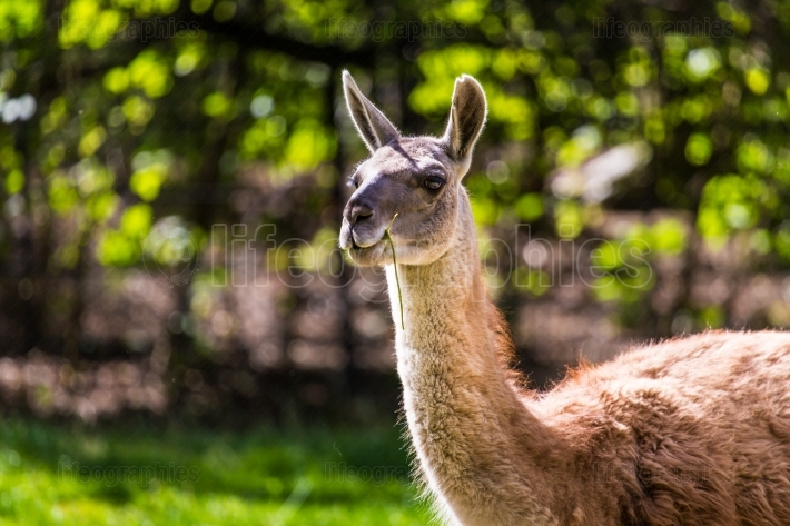 Llama portrait on green natural outdoor background