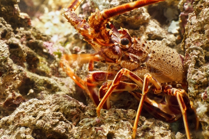 Lobster in aquarium