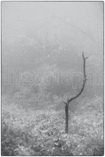 Lonely tree in the deep forest covered by fog