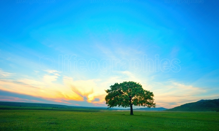 Lonely tree on field at dawn in summer